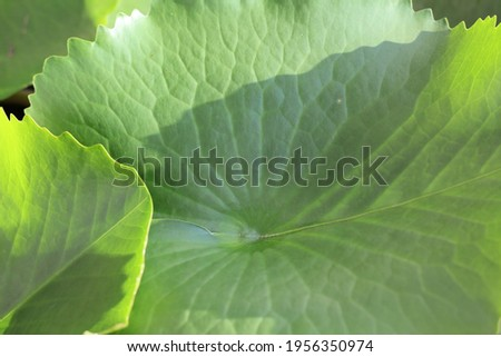 Photo  tropical of green leaves Lotus  , which have stay on the pond and have patter line on surface , have beautiful of shade and shadow shine on , this picture can use for background .