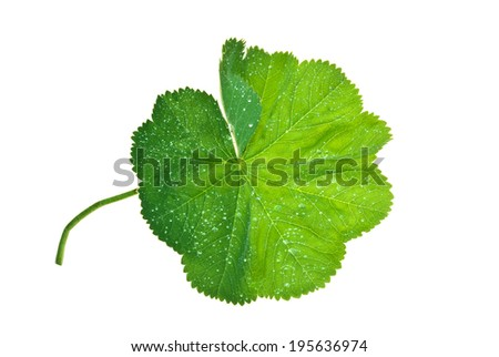 Leaf of Lady's Mantle with brilliant water drops isolated on white  #195636974