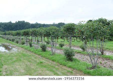Conifer plants nursery. Topiary bonsai and niwaki garden trees Royalty-Free Stock Photo #1956373156