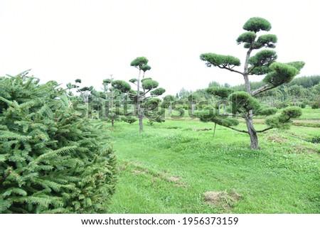 Conifer plants nursery. Topiary bonsai and niwaki garden trees Royalty-Free Stock Photo #1956373159