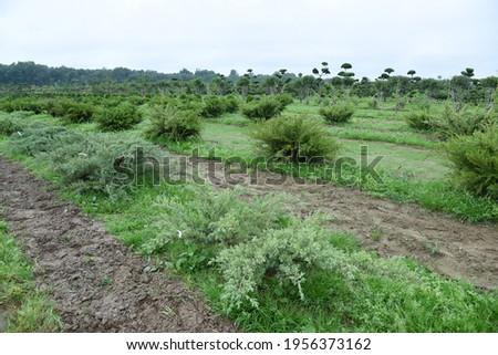 Conifer plants nursery. Topiary bonsai and niwaki garden trees Royalty-Free Stock Photo #1956373162