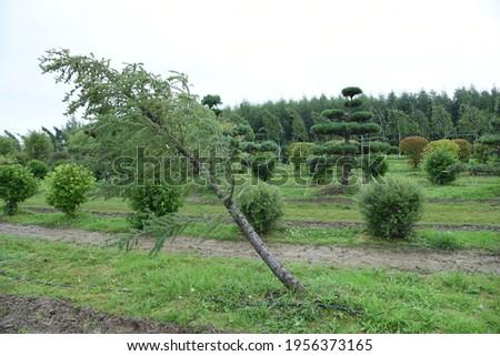 Conifer plants nursery. Topiary bonsai and niwaki garden trees Royalty-Free Stock Photo #1956373165