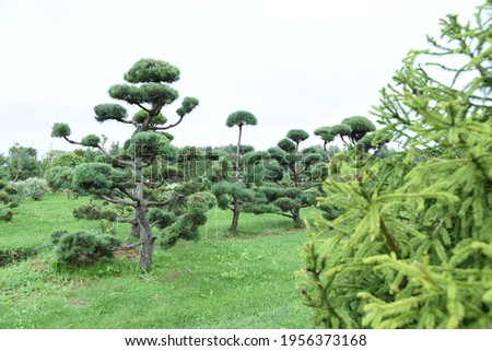 Conifer plants nursery. Topiary bonsai and niwaki garden trees Royalty-Free Stock Photo #1956373168