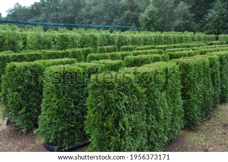 Conifer plants nursery. Topiary bonsai and niwaki garden trees Royalty-Free Stock Photo #1956373171