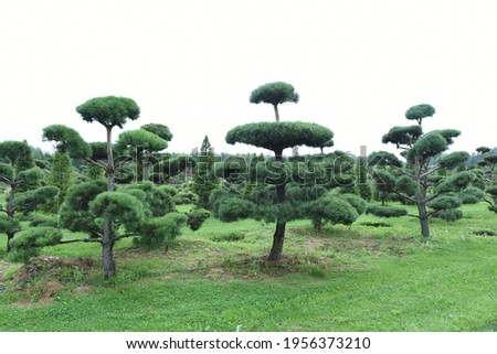 Conifer plants nursery. Topiary bonsai and niwaki garden trees Royalty-Free Stock Photo #1956373210