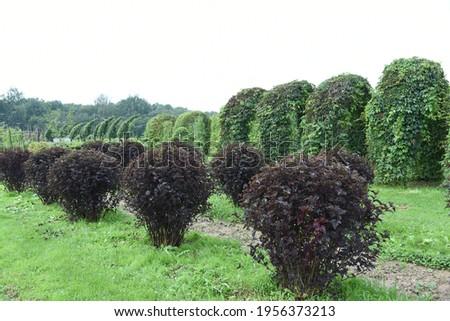 Conifer plants nursery. Topiary bonsai and niwaki garden trees Royalty-Free Stock Photo #1956373213