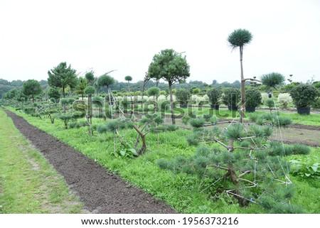 Conifer plants nursery. Topiary bonsai and niwaki garden trees Royalty-Free Stock Photo #1956373216