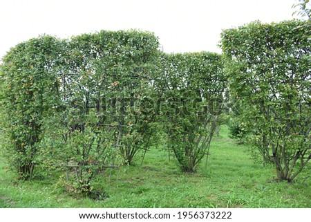 Conifer plants nursery. Topiary bonsai and niwaki garden trees Royalty-Free Stock Photo #1956373222