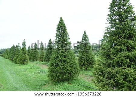 Conifer plants nursery. Topiary bonsai and niwaki garden trees Royalty-Free Stock Photo #1956373228
