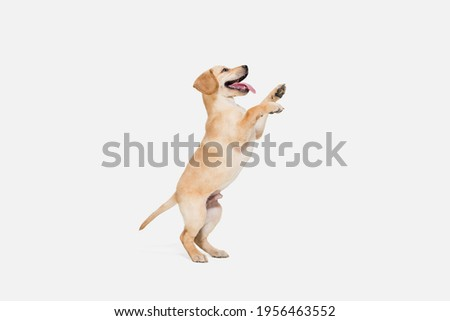 Flying. Little Labrador Retriever playing isolated on white studio background. Young doggy, pet looks playful, cheerful, sincere kindly. Concept of motion, action, pet's love, dynamic. Copyspace. Royalty-Free Stock Photo #1956463552
