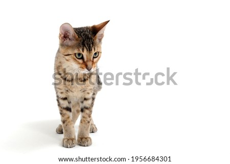 A purebred smooth-haired cat stands on a white background Royalty-Free Stock Photo #1956684301