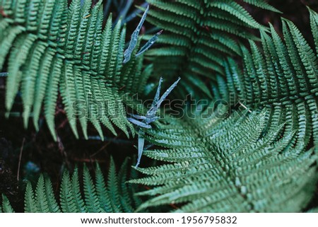 Beautiful fern leaves after rain. Green foliage natural floral background. Kale color of the picture. Tropical forest.