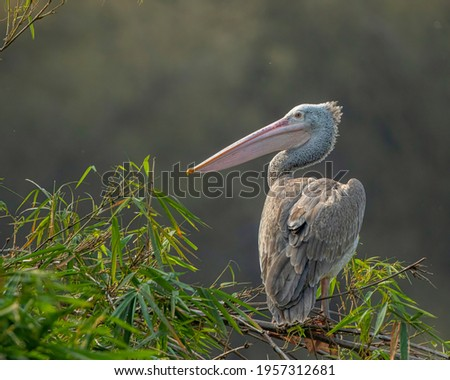 Juvenile Spot-billed Pelican Sitting on Branch Royalty-Free Stock Photo #1957312681