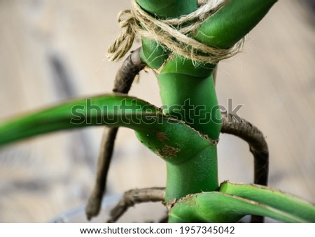 Closeup image of monstera's stem and nodes.  Royalty-Free Stock Photo #1957345042