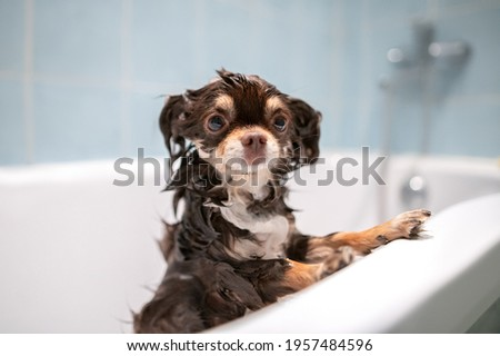 funny wet chihuahua standing in a bath tub