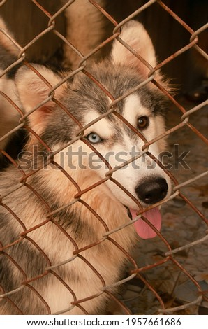 Pet dog Siberian Husky blue and brown eye color eyes is sitting catch on a wire net, looking out of the cage. picture closeup different two color eye of dog species siberian husky.