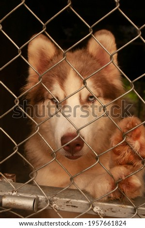 Pet dog Siberian Husky blue and brown eye color eyes is standing catch on a wire net, looking out of the cage. picture closeup different two color eye of dog species siberian husky.
