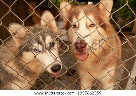 Pet 2 dog Siberian Husky blue and brown eye color eyes is sitting catch on a wire net, looking out of the cage. picture closeup brown eyes color eye of dog species siberian husky.