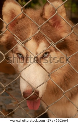 Pet dog Siberian Husky brown eye color eyes is sitting catch on a wire net, looking out of the cage. picture closeup brown eyes color eye of dog species siberian husky.