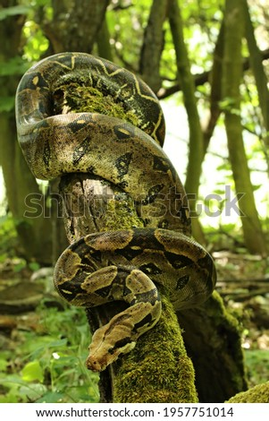 The boa constrictor (Boa constrictor), also called the red-tailed boa or the common boa, on the old branche in green forest. Green background. Royalty-Free Stock Photo #1957751014