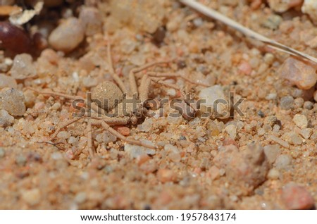Closeup picture of the six-eyed sand spider of the genus Hexophthalma (maybe H. hahni or H. goanikontesensis) and former Sicarius (family Sicariidae), photographed in the Namib desert near Swakopmund.