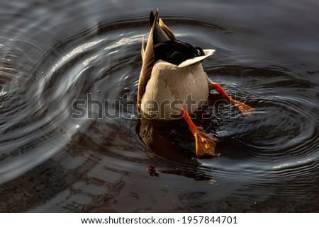 Mallard duck male diving in water. Mallard duck feeds in dark water. Mallard duck butt in dark circled water reflecting sun and duck.