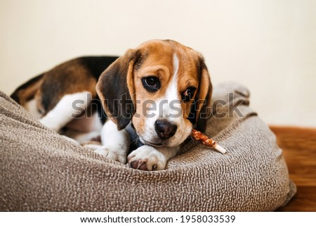 Dog Snack Chewing Sticks for puppies. Beagle puppy eating Dog Snack Chewing Sticks at home. Beagle Eat, Dog Treats for Beagles Royalty-Free Stock Photo #1958033539