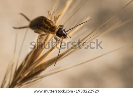 An Earwig Resting on a Dry Plant on a Hot Spring Day