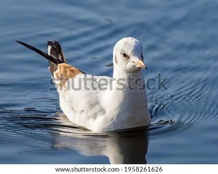 A juvenile black-headed gull (Chroicocephalus ridibundus) seen sitting on water in early Spring. Royalty-Free Stock Photo #1958261626