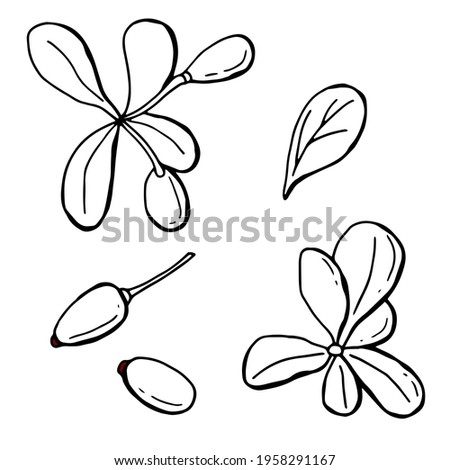 Graphic set of leaves and berries of barberry. Line art. White background, isolate. Vector illustration. Royalty-Free Stock Photo #1958291167
