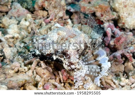 A picture of a pegasus fish on the bottom