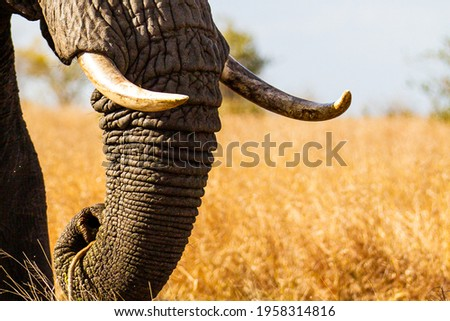 Lone African elephant bull walks through the dry savannah Royalty-Free Stock Photo #1958314816