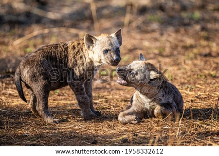Hyena cub plays near the entrance to its den in South Africa