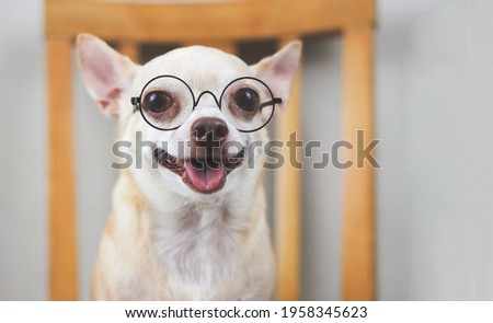 Close up image of Chihuahua dog wearing eyeglasses sitting on wooden chair, smiling with his tongue out and looking at camera.