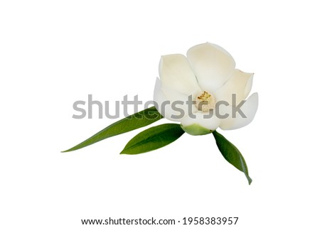 White magnolia flower (Magnolia grandiflora) on isolated white background. Called Evergreen Magnolia,  with clipping path.