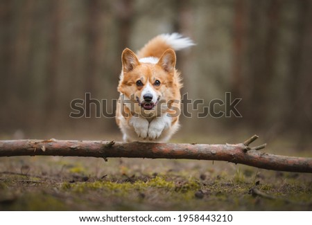 Happy welsh corgi pembroke dog running and jumping, picture in brown colors