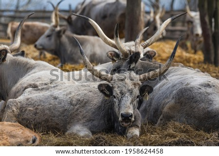 Ruminanting Hungarian grey cattle outside of the stable Royalty-Free Stock Photo #1958624458