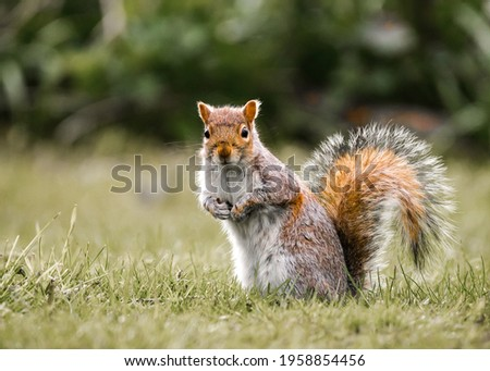 Small red and grey English wild squirrel sat isolated in nature countryside looking at camera. Furry bushy tail cute funny little mammal and vibrant colours outdoor small animal. Royalty-Free Stock Photo #1958854456