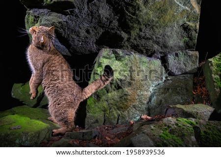 European wildcat in beautiful nature habitat. Very rare and endangered animal. Felis silvestris. Wild eurasian animals. European wildlife. Wildcats. Royalty-Free Stock Photo #1958939536