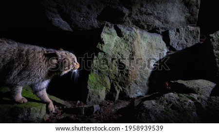 European wildcat in beautiful nature habitat. Very rare and endangered animal. Felis silvestris. Wild eurasian animals. European wildlife. Wildcats. Royalty-Free Stock Photo #1958939539