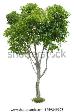 Cut out green tree. Shrub isolated on white background. Cutout deciduous tree in summer. High quality image for professional composition. Royalty-Free Stock Photo #1959349978