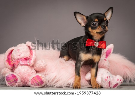 A little cute puppy sitting and on a pink pillow wearing a nice red bow and playing with its favorite toy bunnies. [chihuahua]