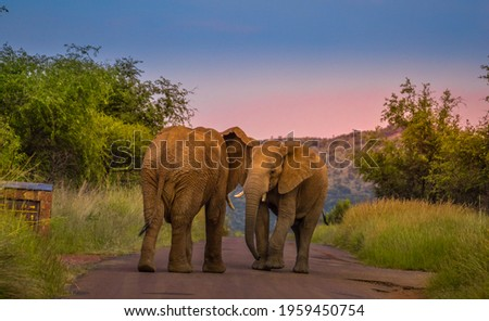 Two African elephants fighting on the road in Pilanesberg national park during a safari Royalty-Free Stock Photo #1959450754
