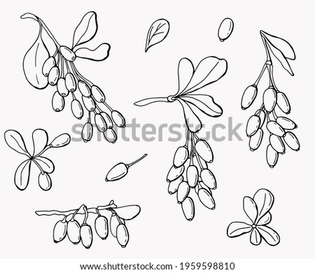 Graphic set of leaves and berries of barberry. Line art. White background, isolate. Vector illustration.	 Royalty-Free Stock Photo #1959598810