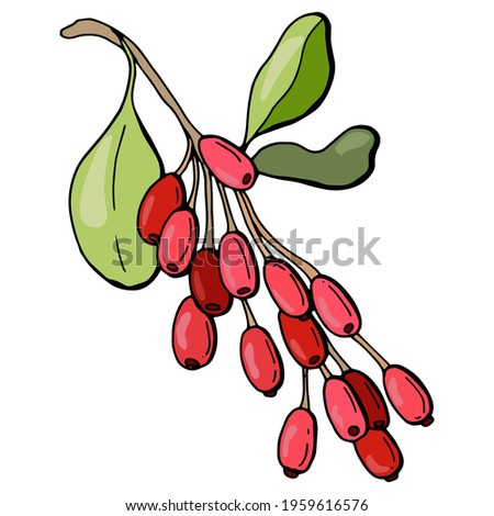 Branch with barberry berries. Hand-drawn style. White background, isolate. Vector illustration.	  Royalty-Free Stock Photo #1959616576