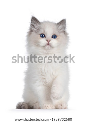 Cute blue bicolor Ragdoll cat kitte, sitting up facing front with one paw playful in air. Looking towards camera with blue eyes. Isolated on a white background. Royalty-Free Stock Photo #1959732580
