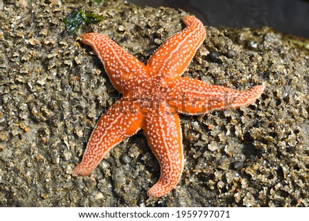 A starfish in a strange position on a beach or on rocks, looking dead. Royalty-Free Stock Photo #1959797071