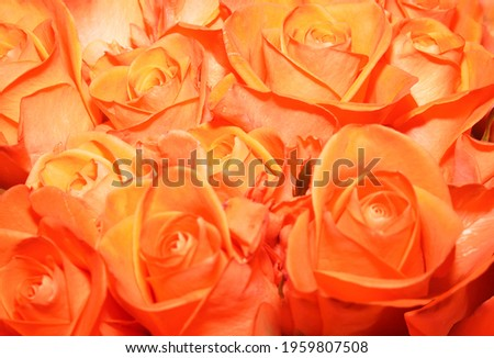 A bouquet of bright orange color roses. Natural roses background. Happy Birthday, Happy Mother's Day, Wedding Day, Valentine's Day, International Women Day greeting card, poster.