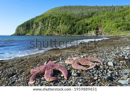 Starfishes ( sea stars ) on the Tatar strait coast. Asterias amurensis, also known as the Northern Pacific seastar and Japanese common starfish. Khabarovsk Krai, far East, Russia. Royalty-Free Stock Photo #1959889651