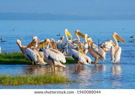 Great white pelicans in Lake Nakuru,Africa Royalty-Free Stock Photo #1960088044